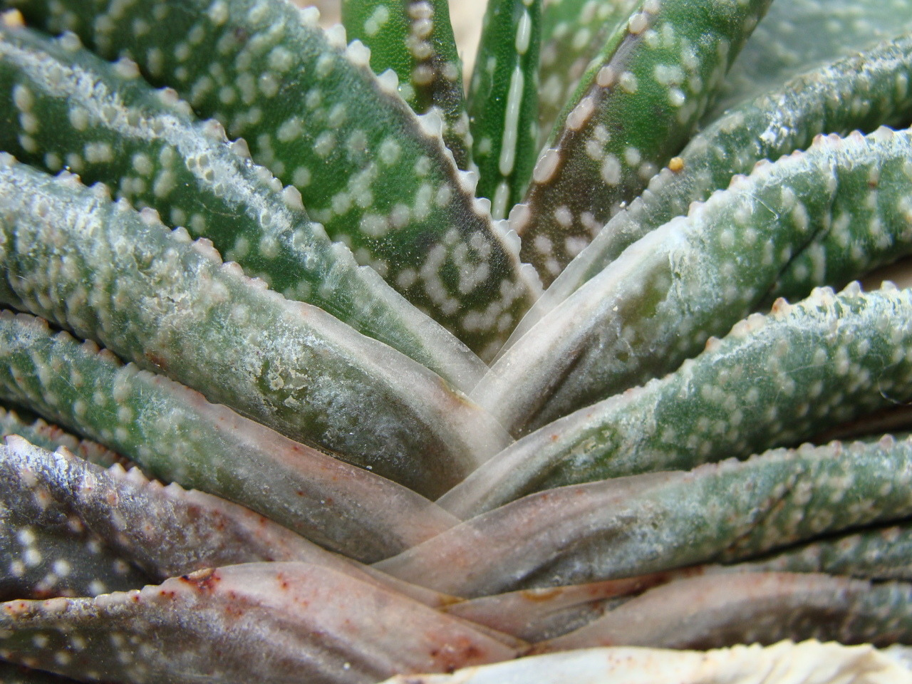 Aloe layers.  A beautiful green pattern only found in the Botanical Gardens, Chicago IL.