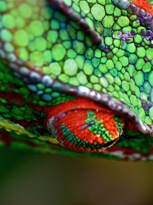 worldlyanimals:  Chameleon Eye (Gilles Virassamy)