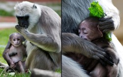 theanimalblog:  Mother Lisa holds her grey langur baby at the zoo in Hanover, Germany. The baby was born on 4 September.  Picture: EPA/EMILY WABITSCH /