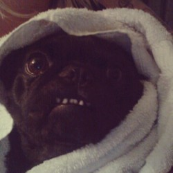 Post-bath. #pugs #pug #pugsofinstagram #cute #adorable #datface (Taken with Instagram)