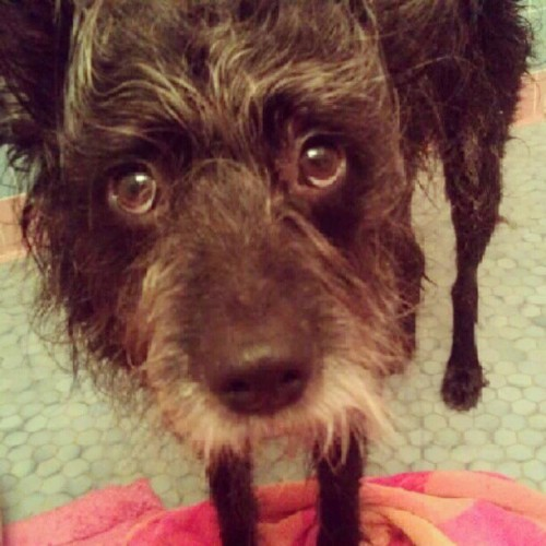 Puppy dog eyes. #Stormy #dog (Taken with Instagram)