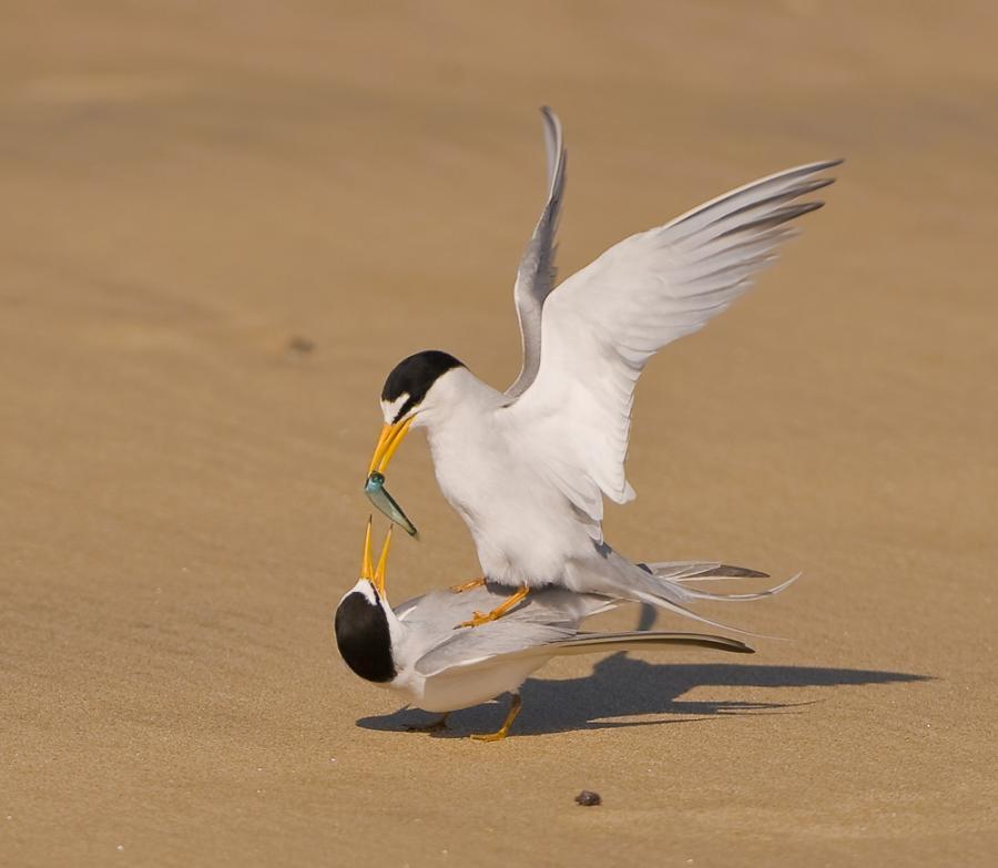A fish for my love (Least terns - endangered species) - Monte Stinnett