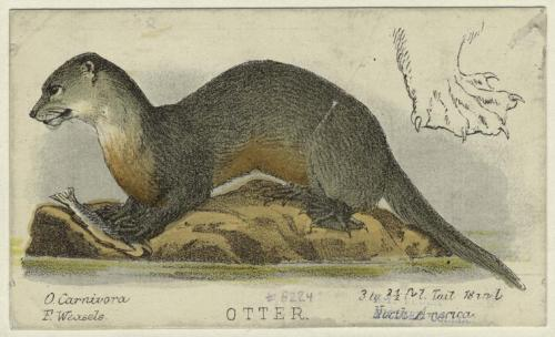 Otter from Prang's natural history series. (Boston : L. Prang and Company, c1872)