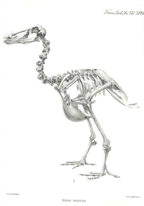 skullandbone:  dodo skeleton