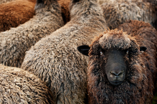 herthen:  Sheep, yo! (by Ali Walker Photography)