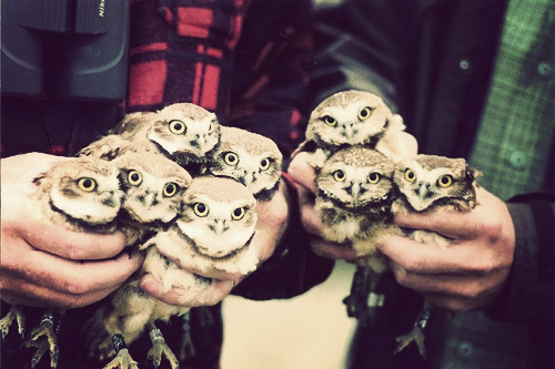 [Color photo: two double-handsful of owls]