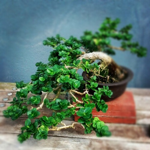 Bonsai. (Taken with Instagram)