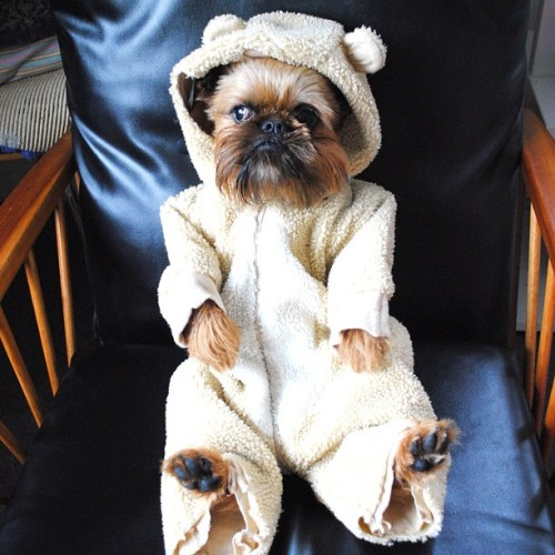 "Little bear Digby, not really a costume more like leasure wear but too cute not to include. digbyvanwinkle:  ""if I'm a little baby bear can you at least get me some porridge? I'm starving over here!"" (Taken with Instagram)"