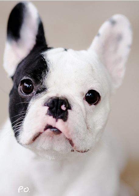 showyoursupport:  empty-void:  i need a french bulldog in my life.  I will have one before you.