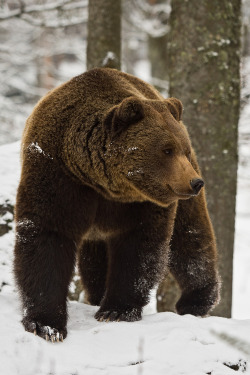 "shaochilong:  I love bears. Let me be a bear.  ""Snowy bear"" by Wilhelm Linse"