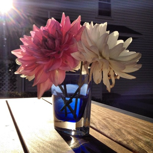 The low light from the #sun illuminates the last #Dahlia #blooms of the #summer (Taken with Instagram)