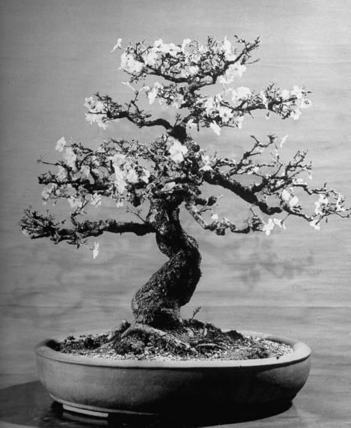 varietas:  Alfred Eisenstaedt: 100-year-old bonsai cherry tree in collection of Keibun Tanaka. Japan 1946 / LIFE