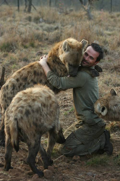 "the-absolute-best-posts:  sha-of-procrastination: Have you hugged your hyena today? This is cute and all, but OHGOD I had no idea hyenas were this big. I'd always thought of them as somewhere on the small-to-medium dog scale, like a springer spaniel or something. UM NO. So this dude is Kevin Richardson, known as ""the Lion Whisperer."" Apparently he just goes out and gets himself accepted into groups of wild animals, for the purpose of making documentaries, commercials, etc. AS ONE DOES. we hyena now He's also does this to move herds and packs of animals into reserves or out of development areas. Good man. this is the cutest thing i've seen today I love Kevin Richardson. He is amazing. Via/Follow The Absolute Greatest Posts…ever."