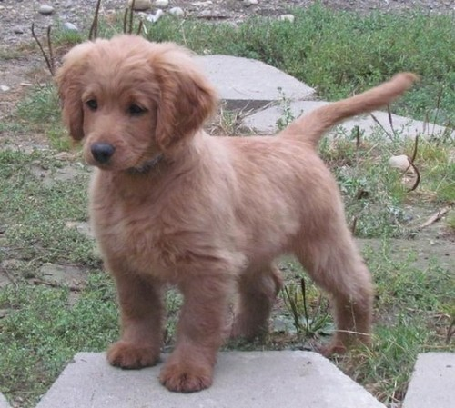 Guys. This is a  fully grown Golden Cocker Retriever. In other words, a forever puppy.