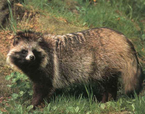 Japanese Raccoon Dog These guys are famous for inspiring the Tanuki Yōkai (the Japanese shape shifting raccoon demons with giant testicles.)