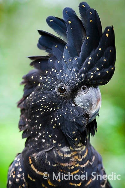 fairy-wren:  red-tailed black cockatoo (photo by michael snedic)