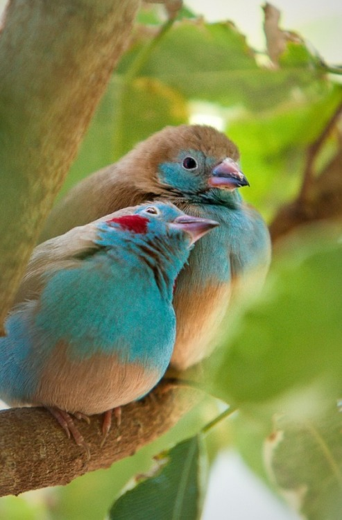 fairy-wren:  red cheeked cordon bleu (photo by vivi moreira)