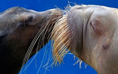 A California sea lion and a walrus 'kiss' each other during a show at the Hakkeijima Sea Paradise aquarium-amusement park complex in Yokohama, Japan.  Picture: Itsuo Inouye/AP