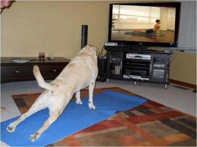 "collegehumor:  Dog Is Really Into Yoga I believe this is called the ""upward facing human""."