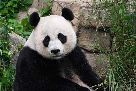 Cub is born to National Zoo's giant panda (Photo: Jessie Cohen  /  AFP - Getty Images file) WASHINGTON — Mei Xiang, the National Zoo's giant panda, gave birth to a panda cub Sunday night — her second — after five false alarms in a row. The new cub was born at 10:46 p.m. Sunday. The zoo announced the news about four hours later. Read the complete story.