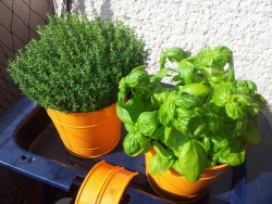 Thyme and basil cultivated on my balcony