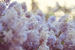 floralls:  Lilac haze {explored} (by baby, picture this)