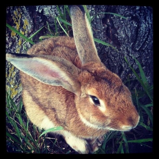 joelcarroll:  There was a giant bunny in my yard this morning… (Taken with Instagram)