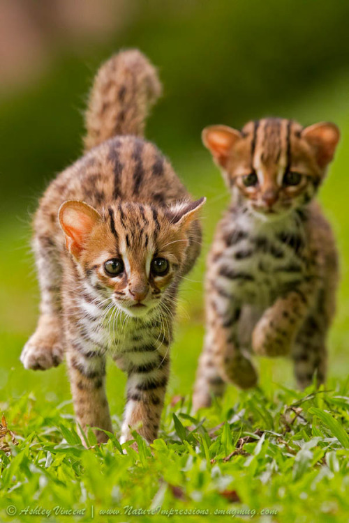 "photogenicfelines: ""Leopard Cat cubs"" (Ashley Vincent)"
