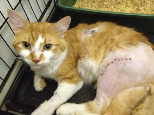 asidewalksymphony:  momochanners:  queen:  OLIVER THE KITTY NEEDS HELP 09/17/2012 Oliver is a rescue cat that was saved by Anjellicle, an entirely volunteer run non-profit organization that I personally work with and can vouch and attest to. He fell out of a window which resulted in a severe leg injury, which has left him with $2000 of bills from vets. He is safe and getting better now with Anjellicle, but the bills are still there and this organization runs entirely on donations.  If anyone can spare even a dollar, myself, all of Anjellicle, and Oliver would be forever grateful. Oliver has been given another chance at life, and will hopefully have a speedy recovery so he can find a forever home. DONATE AT THIS LINK: http://nycurgentcats.chipin.com/olivers-broken-leg PLEASE REBLOG EVEN IF YOU CANNOT HELP.  Further, Anjellicle is always in need of volunteers, fosters, and adopters in the New York City area, please contact me for more info. My username on Tumblr is 'queen'.  Donated, and signal boosting!  Single boost this guys, pretty please!
