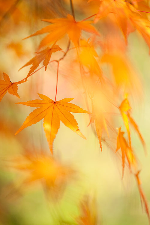 maple leaves (by Brigitte Lorenz)