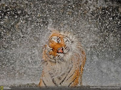 A tiger shakes dry after a swim in an outstanding submission to the 2012 National Geographic Photo Contest. http://www.saveourtigers.com/