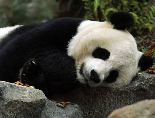 "discoverynews:  Though we won't be able to go visit the baby panda until after the new year, you might catch a glimpse on the panda cam! Chinese tradition says to wait 100 days before naming the baby, so keep an eye out for the naming contest in a few months. Baby Giant Panda Born at D.C. Zoo Mei Xiang, the mom panda, ""is cradling her cub closely, and she looks so tired,"" the zoo's chief veterinarian said in a statement. Dr. Pierre Comizzoli, the Gamete Biologist who artificially inseminated Mei Xiang told the press, ""(Pandas) have a really short breeding season, but we have good techniques now that help us determine when they are ovulating. We were not hopeful because of problems with Mei Xiang in the last few years, but nature is fantastic.""  When asked how he felt about succeeding where the male panda failed, Dr. Comizzoli said, ""It's really satisfying, actually,"" which generated a round of laughs.  very exciting!"