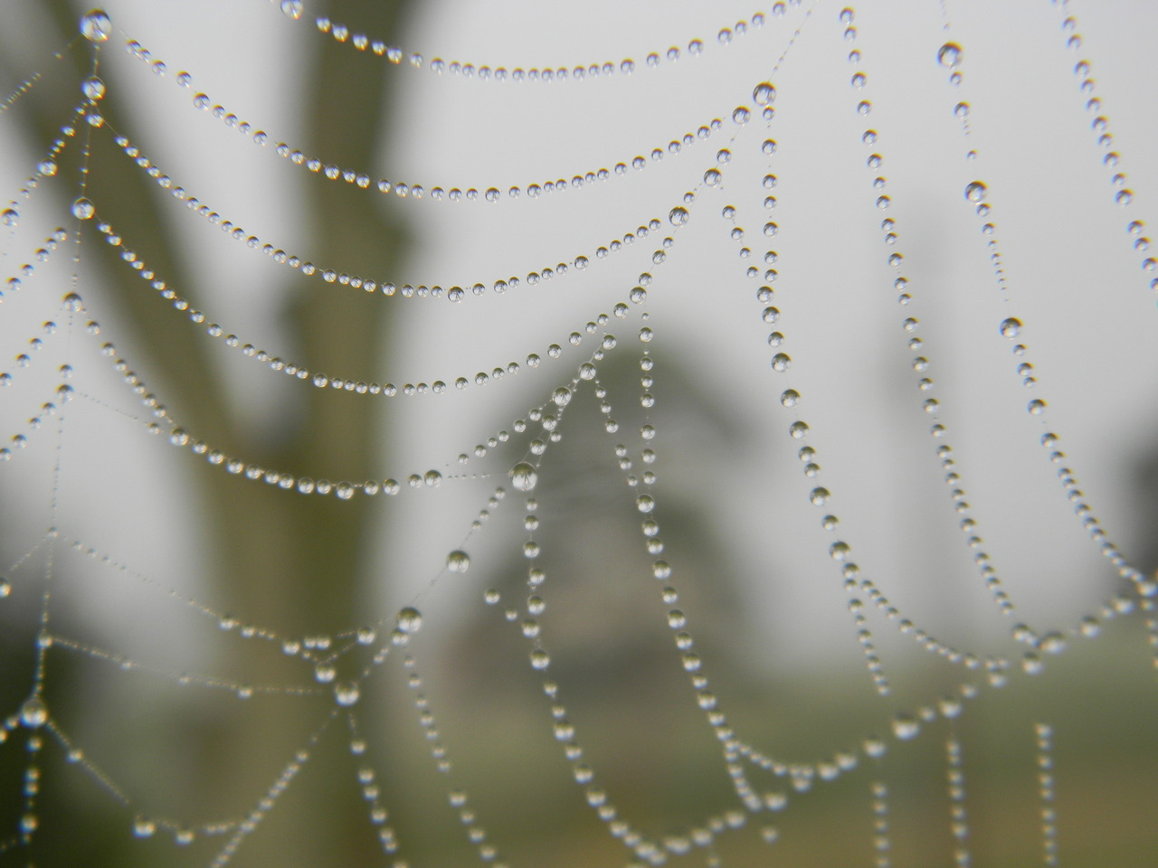 September 18, 2012 Spider webs collect dew in a beautiful way!  Wetness actually hinders the web's ability to snag prey… but it has inspired some researchers to examine the possibilities of collecting water in the air.  Check out the article at Nature. —photo by Jerod Skebo
