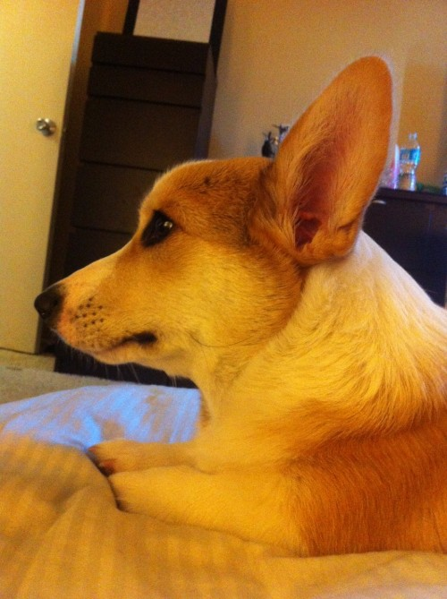 corgnelius:  side profile (look at those stumps!! can he even see those things!!)  LEWK AT DOSE STUMPY LEGS  LET ME LOVE U CORGI