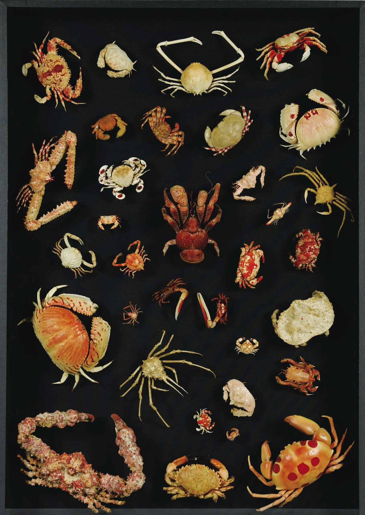 sugarmeows:  Antique collection of exotic crabs
