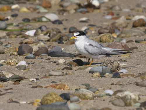 Least Tern (by wah5253)