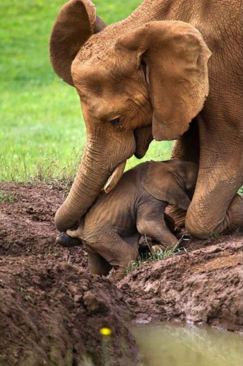 Elephant rescues baby trapped in mud. Photo by Marina Cano / Solent News via Rex USA via Animal Tracks