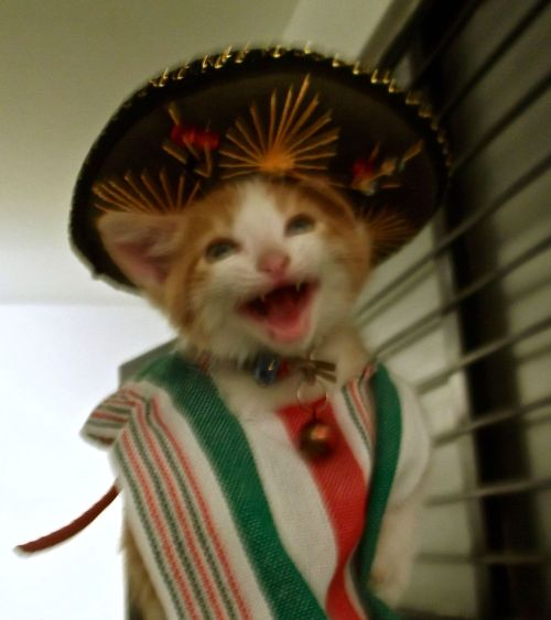 Yesterday was Mexico's Independence Day. Here's Macondo celebrating it. - Imgur You just GATO love that little sombrero.