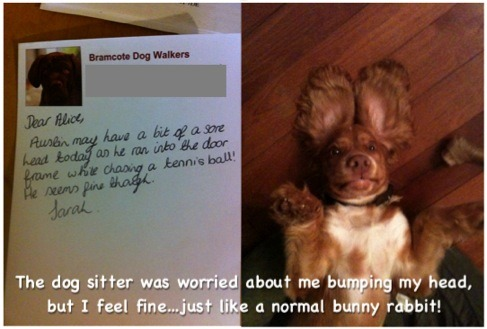 dogshaming:  I came home to this note from the dog sitter, which says 'Austin may have a bit of a sore head today as he ran into the door frame while chasing a tennis ball! He seems fine though'. Except he seems to think he's a rabbit.