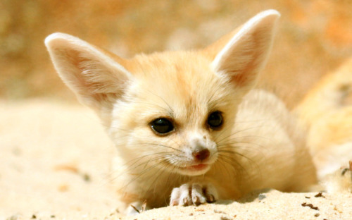 Fennec Fox cub ,Todays Cuteness:) (by TenPinPhil)