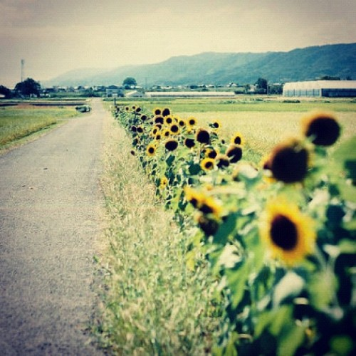 #sunflower (Tomada con Instagram)