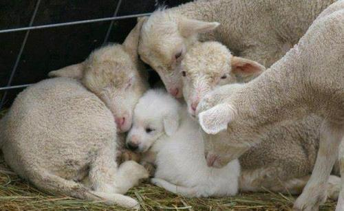 Baby Great Pyrenees is welcomed by the flock he will be guarding when he grows up =) - Imgur