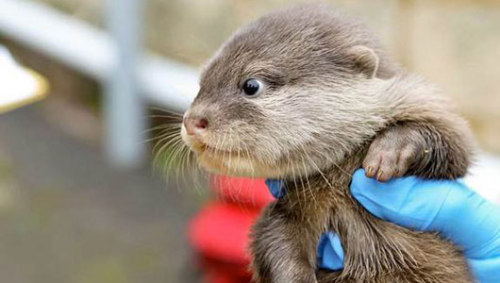 Australian sea otter pups make zoo debutThe Asian small-clawed otters are the smallest of the world's 13 otter species, and are a vulnerable species due to habitat loss.