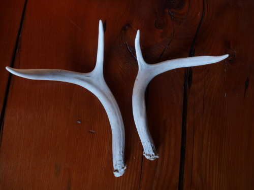 Scott found this pair of antlers while doing some fieldwork last week. Male deer (and their relatives, including elk) shed their antlers every winter, then grow a new pair in the spring. I've found a few shed antlers while hunting, but never a matching set.