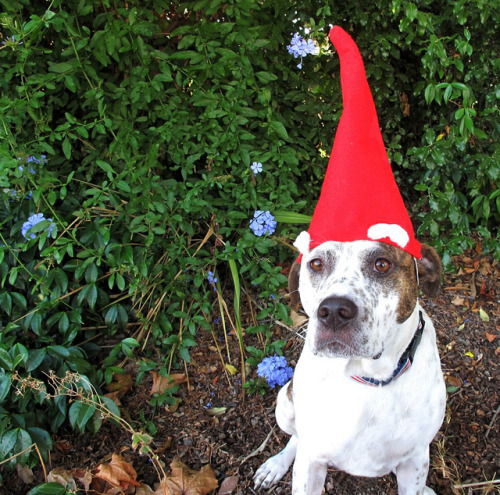 Penny as a gnome for Halloween by nicole903 on Flickr.