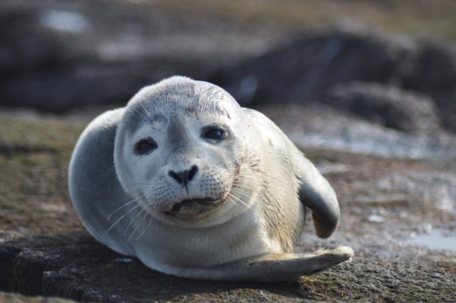 usagov:  Image description: A Harbor seal lounges at Nantucket National Wildlife Refuge in Massachusetts. Photo by Amanda Boyd, U.S. Fish and Wildlife Service