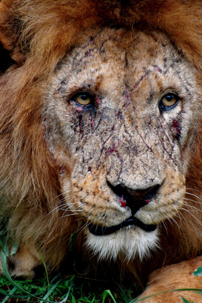 adeelbadeel:  erraticintrovert:  Battlescars.  The face of a true King