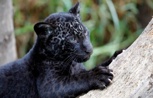 magicalnaturetour:  A melanic otorongo or jaguar cub at the Parque de Las Leyendas zoo in Lima, on June 24, 2011. Twin melanic jaguar babies were shown to the press at the zoo. (Reuters/Mariana Bazo) :)