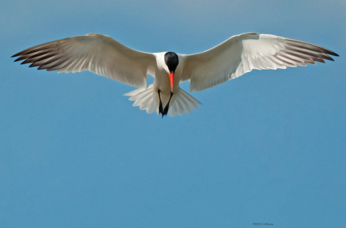 Caspian Tern - Surveillance by The Hapless Birder of Delaware on Flickr.