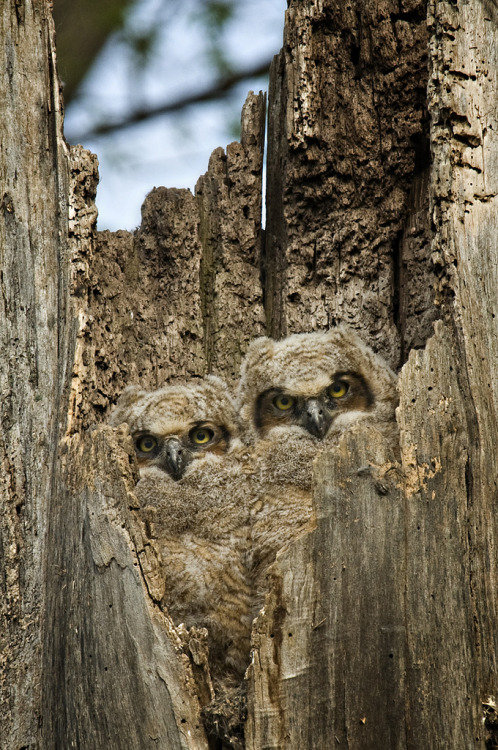 llbwwb:  Baby Owls (by mizzginnn)